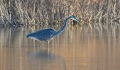 Great Blue Heron - High Acres Nature Area - © Dick Horsey - Dec 09, 2015