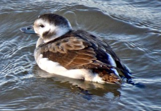Long-tailed Duck - Charlotte Pier - © Vern Lindberg - Dec 11, 2015