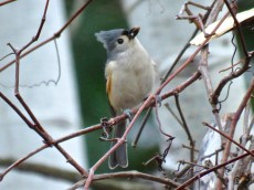 Tufted Titmouse - Oatka Creek Park - © Jim Adams - Dec 15, 2015