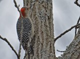 Red-bellied Woodpecker - Lucien Morin Park - © Dick Horsey - Dec 21, 2015
