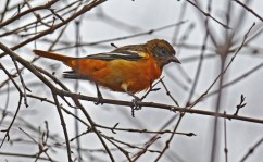 Baltimore Oriole - Durand Eastman Park - © Dick Horsey - Dec 26, 2015