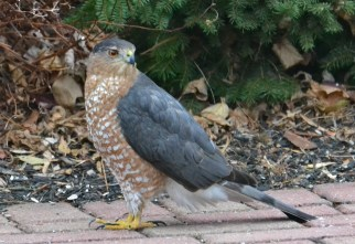 Cooper's Hawk - Webster - © Peggy Mabb - Dec 13, 2015