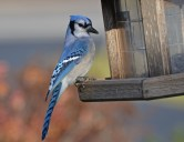 Blue Jay - Webster - © Peggy Mabb - Dec 19, 2015