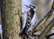 Downy Woodpecker - Oatka Creek Park - © Jim Adams - Dec 30, 2015