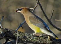 Cedar Waxwing - Oatka Creek Park - © Jim Adams - Jan 06, 2016