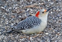 Red-bellied Woodpecker (F) - Webster - © Peggy Mabb - Jan 07, 2016