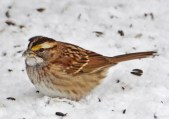 White-throated Sparrow - Webster - © Peggy Mabb - Jan 13, 2016