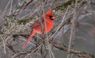 Northern Cardinal - Mendon Ponds - © Chris Choate - Jan 23, 2016