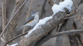 Tufted Titmouse - Mendon Ponds - © Chris Choate - Jan 23, 2016