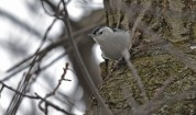 White-breasted Nuthatch - Durand Eastman Park - © Dick Horsey - Jan 24, 2016