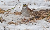 White-throated Sparrow - Mendon Ponds - © Dick Horsey - Jan 25, 2016