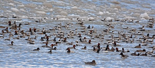 Canvasback (C/front), Common Goldeneye, White-winged Scoter, Greater/Lesser Scaup, Redhead, Long-tailed Duck - Irondequoit Bay Outlet - © Dick Horsey - Jan 27, 2016