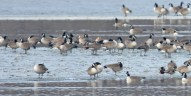 Greater White-fronted Goose (two in center) - Mendon Ponds - © Dick Horsey - Feb 02, 2016