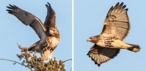Red-tailed Hawk (probable Northern subspecies) - Romulus - © Laurie Dirkx - Feb 06, 2016