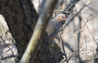 Mourning Dove - Mendon Ponds - © Dick Horsey - Feb 07, 2016