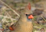 Northern Cardinal (F) - Mendon Ponds - © Dick Horsey - Feb 07, 2016