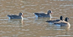 Greater White-fronted Goose - King's Bend Park - © Dick Horsey - Feb 07, 2016