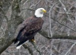 Bald Eagle - Oatka Creek Park - © Jim Adams - Feb 12, 2016