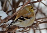 American Goldfinch - Webster - © Peggy Mabb - Feb 14, 2016