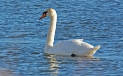 Mute Swan - Irondequoit Bay Outlet - © Dick Horsey - Feb 20, 2016