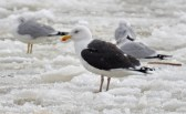Great Black-backed Gull - Charlotte Pier - © Dick Horsey - Feb 22, 2016