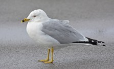 Ring-billed Gull - Charlotte Pier - © Dick Horsey - Feb 22, 2016