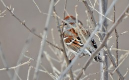 American Tree Sparrow - High Acres Nature Area - © Dick Horsey - Feb 28, 2016