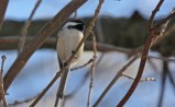 Black-capped Chickadee - High Acres Nature Area - © Dick Horsey - Feb 28, 2016
