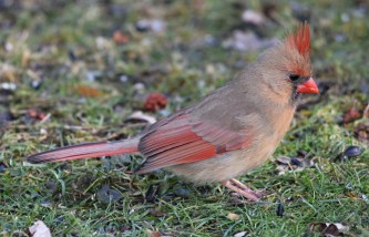 Northern Cardinal - Brighton - © Dick Horsey - Feb 29, 2016