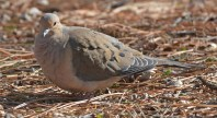 Mourning Dove - Brighton - © Dick Horsey - Feb 29, 2016