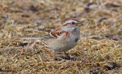 American Tree Sparrow - Mendon Ponds Park - © Dick Horsey - Mar 07, 2016