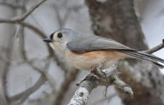 Tufted Titmouse - Mendon Ponds Park - © Dick Horsey - Mar 07, 2016