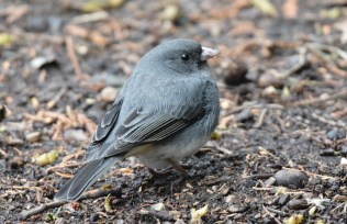 Dark-eyed Junco - Highland Park - © Dick Horsey - Mar 08, 2016