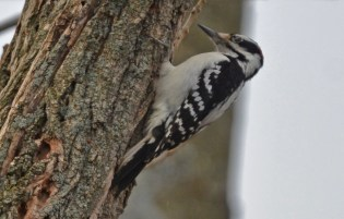 Hairy Woodpecker - Durand Eastman Park - © Dick Horsey - Mar 09, 2016