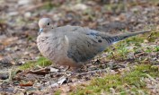Mourning Dove - Durand Eastman Park - © Dick Horsey - Mar 09, 2016