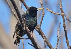 European Starling - Braddock Bay Park - © Dick Horsey - Mar 12, 2016