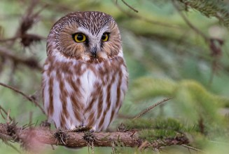 Northern Saw-whet Owl - Owl Woods - © Zaphir Shamma - Mar 13, 2016