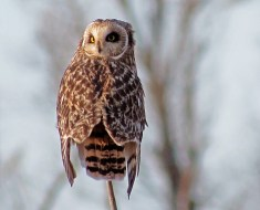 Short-eared Owl - Bloomfield - © Jane Miller - Mar 20, 2016