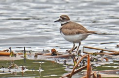 Killdeer - High Acres Nature Area - © Dick Horsey - Mar 26, 2016