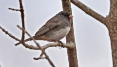 Dark-eyed Junco - High Acres Nature Area - © Dick Horsey - Mar 26, 2016
