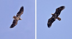 Bald Eagle (L:2-3yo, R:juv-1yo) - High Acres Nature Area - © Dick Horsey - Mar 26, 2016