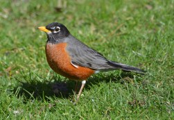 American Robin - Webster - © Peggy Mabb - Mar 29, 2016