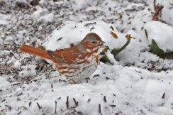 Fox Sparrow - Perinton - © Shelley Patterson - Apr 03, 2016