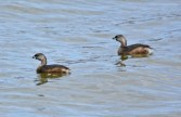 Pied-billed Grebe - Conesus Lake - © Nick Kachala - Apr 09, 2016