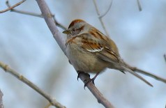 American Tree Sparrow - Oatka Creek Park - © Jim Adams - Apr 10, 2016