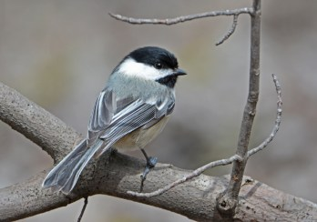 Black-capped Chickadee - Thousand Acre Swamp - © Dick Horsey - Apr 12, 2016