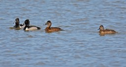 Ring-necked Duck - Braddock Bay Marina - © Dick Horsey - Apr 13, 2016