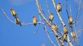 Cedar Waxwing - Beatty Point - © Dick Horsey - Apr 14, 2016