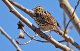 Savannah Sparrow - Beatty Point - © Dick Horsey - Apr 14, 2016
