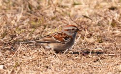 American Tree Sparrow - Beatty Point - © Dick Horsey - Apr 14, 2016